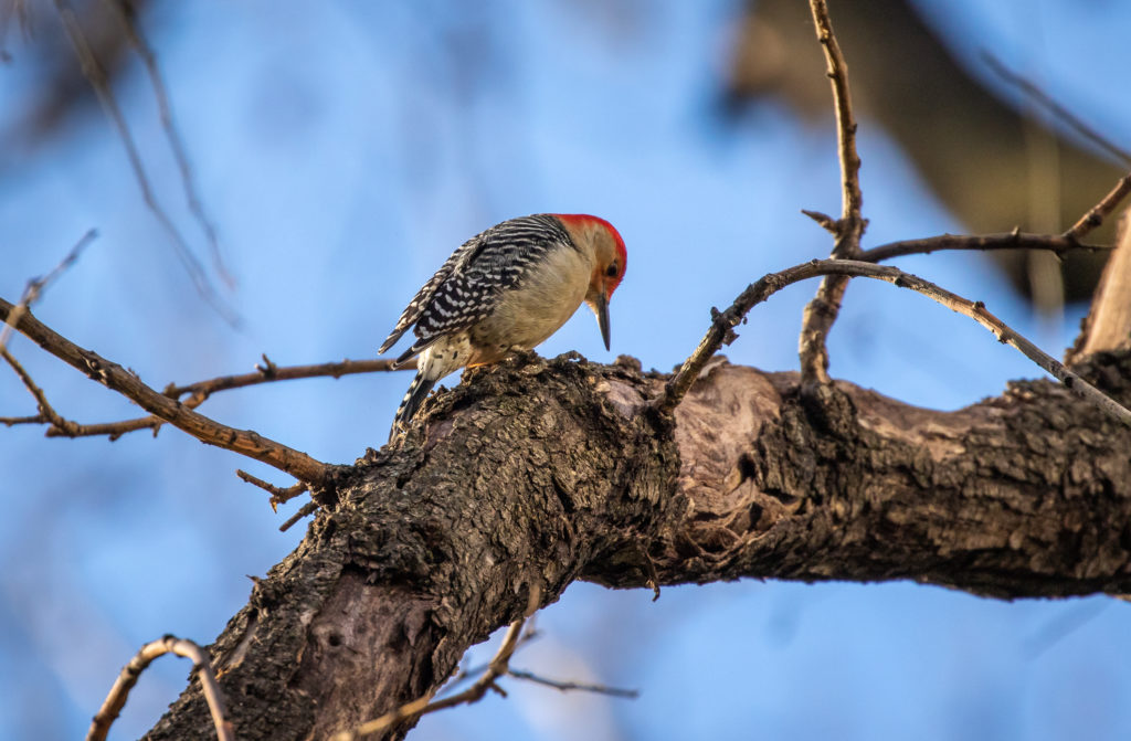 Red-bellied woodpecker by Richard Davis