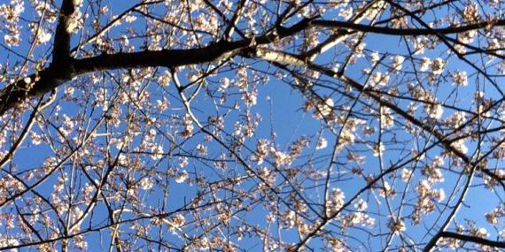 Yoshino cherry, Washington Square Park, March 2020