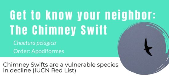 Get to know your neighbor: The Chimney Swift (poster)