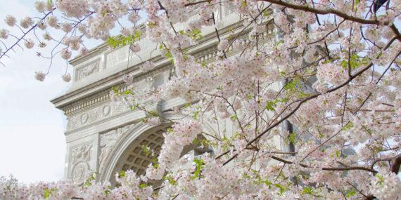yoshino cherry blossoms in Washington Square Park